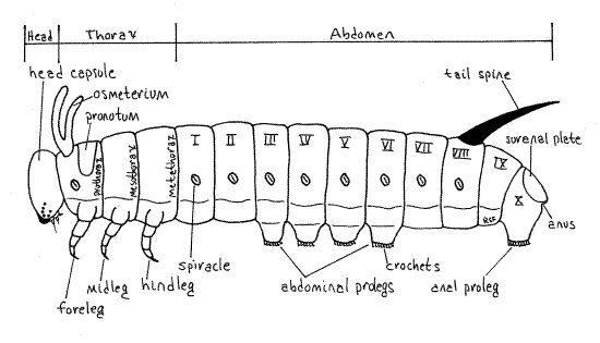 caterpillar anatomy diagram