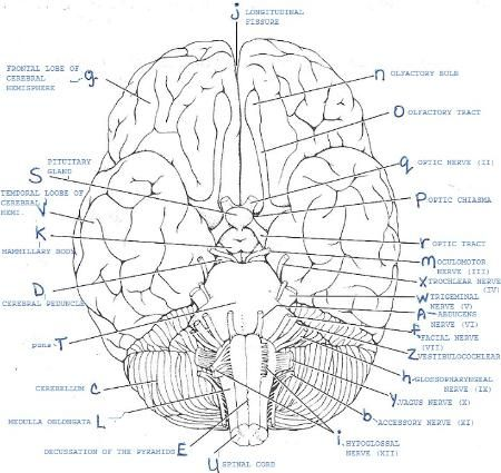 Cranial nerves, Cerebrospinal fluid and Gross anatomy on