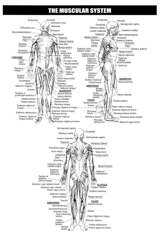 Muscle, Mike d'antoni and Muscular system on Pinterest
