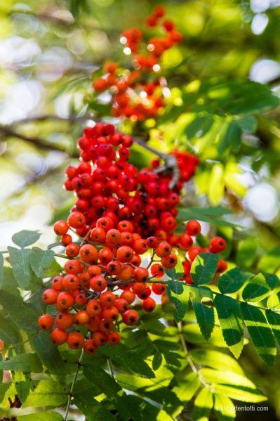 Il Sorbus è un genere di piante che comprende piccoli e grandi alberi