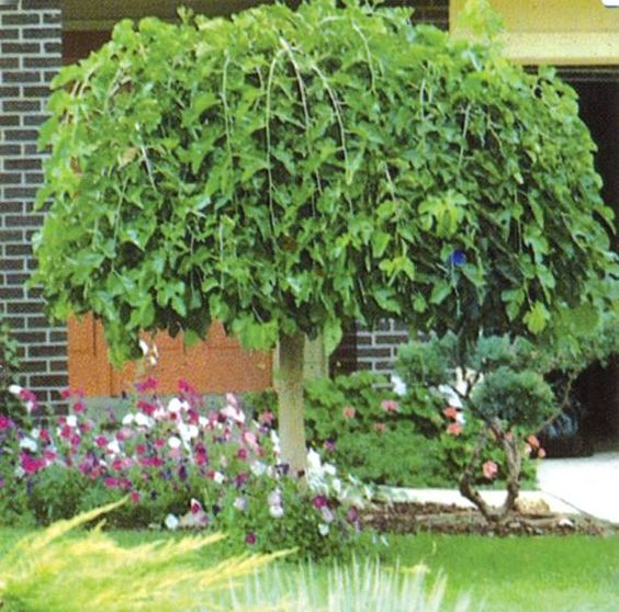 evergreen chaparral weeping mulberry