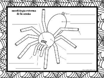 A simple diagram for labeling external spider morphology