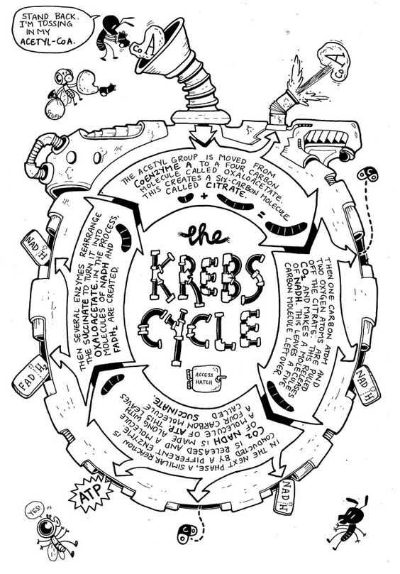 The Kreb Cycle-At A Glance
