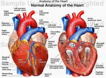 realistic heart diagram shunt trip wiring 1000 images about examination on pinterest warm my human anatomy and physiology diagrams