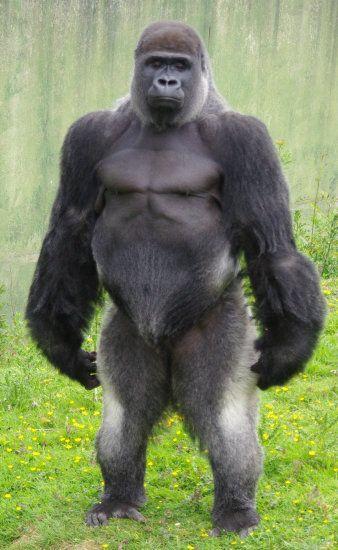 Gorilla an Amazing species standing