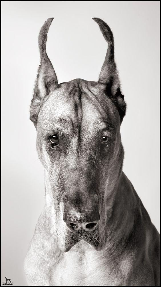 Great Dane Greatdane dog breed portrait Danes
