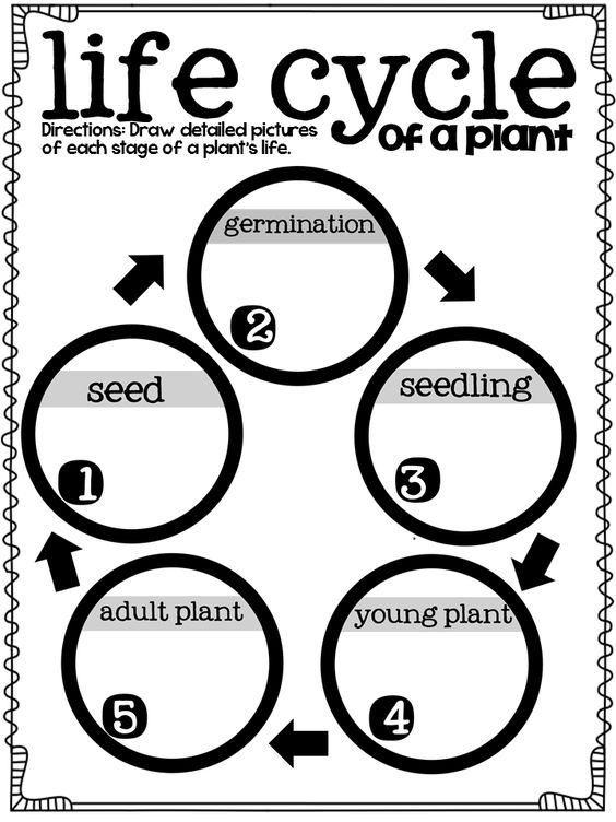 Life cycles, Graphic organizers and Plants on Pinterest