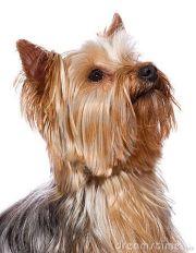 yorkshire terrier fellow yorkie