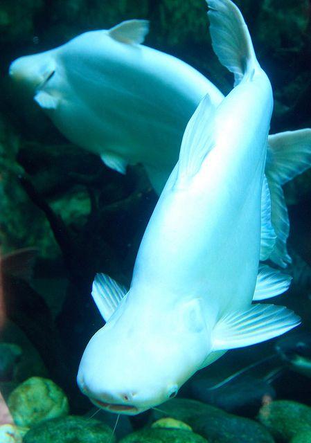 Albino hark catfish otherwise known as Iridescent Shark
