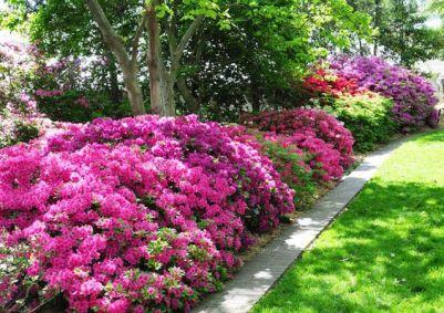 le azalee prosperano in luoghi ombreggiati e sono in grado di produrre magnifiche fioriture anche in zone fredde