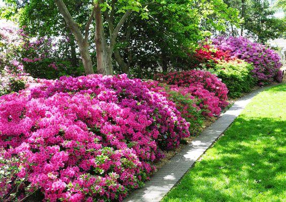 Anche Le Meravigliose Azalee Prosperano In Luoghi Ombreggiati E Sono In  Grado Di Produrre Magnifiche Fioriture Anche In Zone Fredde; Questi Piccoli  Arbusti ...