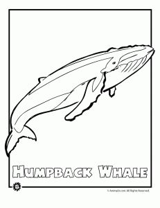 endangered humpback whale 231x300 Endangered Ocean Animal