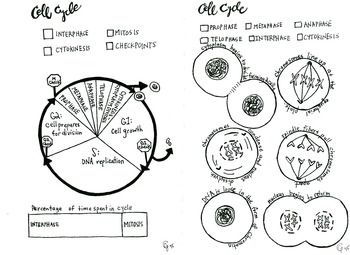 The Cell Cycle And Cellular Division Worksheet Answer Key