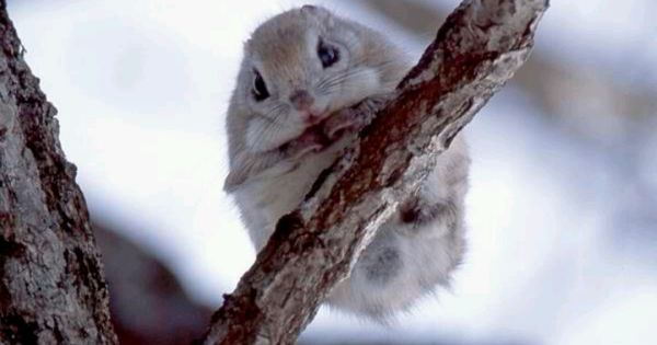 Fluffy And Cute Wallpapers Japanese Dwarf Flying Squirrel Japanese Flying Squirrels