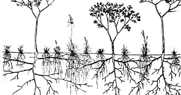 Representation of herbaceous (shallow, fibrous root system