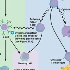 Diagram Of Human Nail 2001 Isuzu Rodeo Engine Humoral And Cell Mediated Immunity - Google Search | Medicine Pinterest ...