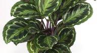Calathea roseopicta 'Medallion', AKA Prayer Plant - Cat ...