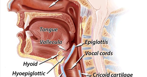 throat anatomy diagram 1966 corvette ignition wiring view of pieces.   speech therapy pinterest therapy, pathology and language