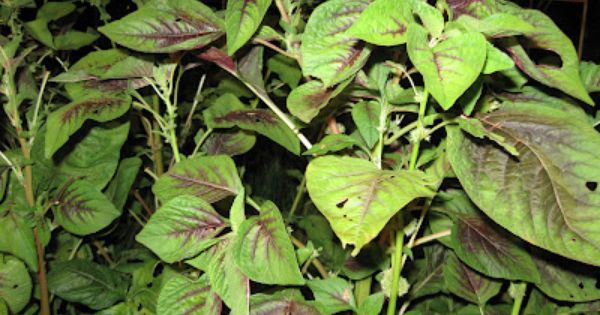 growing food in florida how to grow amaranth greens a