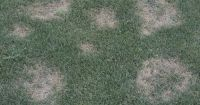 Necrotic Ring Spot - Summer Patch fungus disease # ...