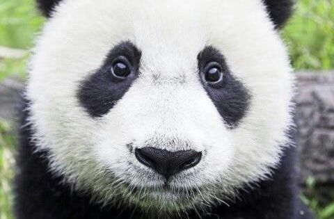 Cute Boy Wallpapers For Fb Panda Bear Close Up They Are Definatley The Cutest Animal