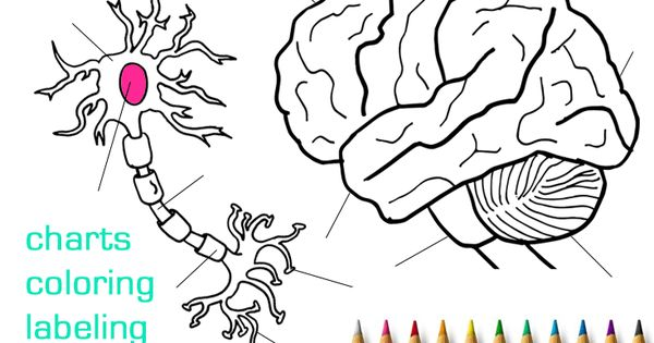 Human Brain And Neuron Coloring Pages Labeling Worksheets