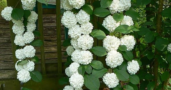 Climbing Hydrangea, Noninvasive But Must Be Patient When