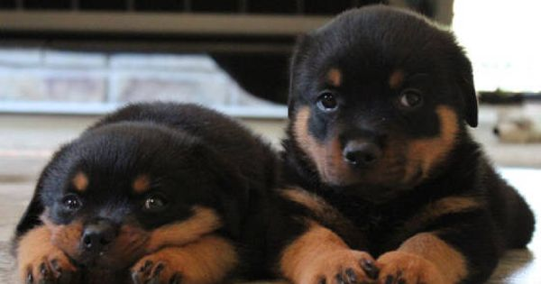Rottweiler Fall Wallpaper German Rottweiler Breeders Rottweiler Puppies For Sale
