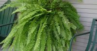 The Boston fern, Nephrolepis exalta bostoniensis - cat ...