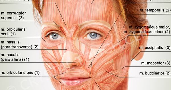 Human Head And Neck Muscles Diagram Facial Muscles Eyes Google Search Anatomy Face