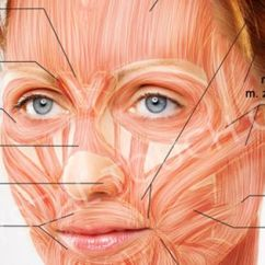 Muscles Of Facial Expression Diagram Guitar Wiring Maker Eyes - Google Search | Anatomy Face Pinterest Muscles, Medical ...