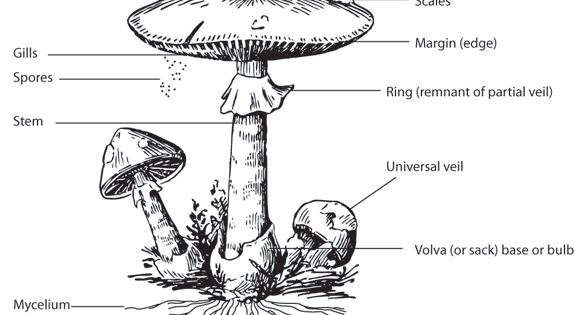 Anatomy of a Mushroom Note: All parts shown here are not