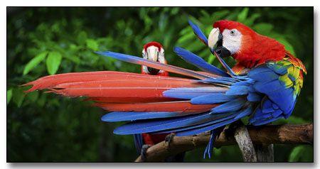 Exotic Animal Wallpaper Amazon Rainforest Birds Scarlet Macaws Amazon