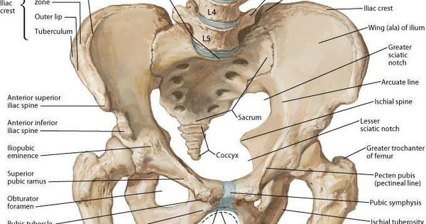 The inguinal (crural) ligament runs from the anterior ...