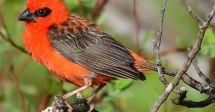 Mauritius Fody Birds Pinterest Mauritius and Bird