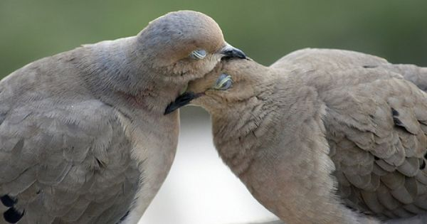 Cuddling Mourning Doves  Birds Of A Feather  Pinterest