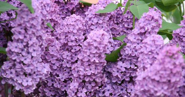 popular landscaping shrubs