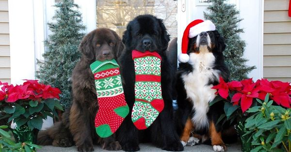 Newfoundland Dogs And Bernese Mountain Dog Showing Their