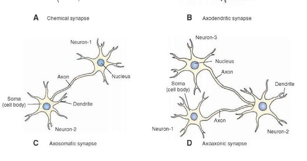 Morphology of a chemical synapse. (A) The presynaptic