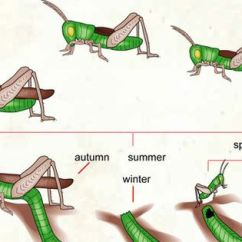 Cricket Life Cycle Diagram Studor Vent Installation Insect Information For Kids   Of A : Herbivorous The Orthopteran ...