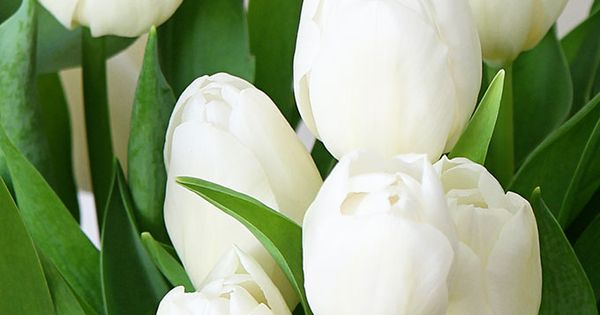 Free Fall Wallpaper For Iphone 6 Spring Desktop And Iphone Wallpaper White Tulips
