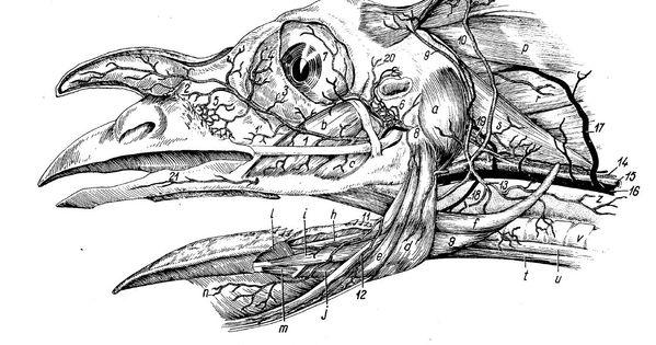 Ghetie's Atlas of Avian Anatomy: a virtually unknown