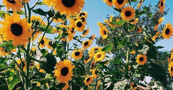 Fall Southern Prep Wallpapers Fun Fact Sunflowers Are My Favourite Flowers Good Day