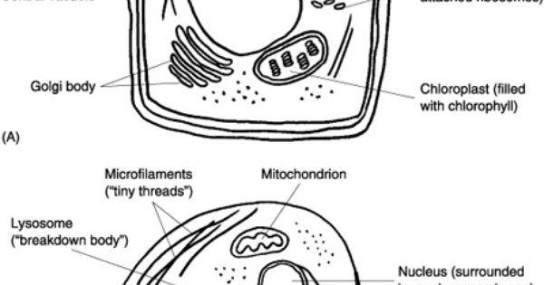 """Cells: The """"Little Chambers"""" in Plants and Animals Normal"""