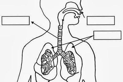 IMÁGENES FICHAS Órganos del aparato respiratorio La