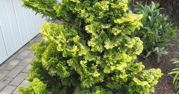 gold tip hinoki cypress  Gardening  Pinterest