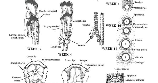 development of the lower respiratory system: larynx and