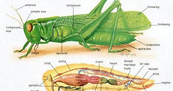 Pix For Gt Grasshopper Anatomy Carapace
