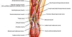Achillespees met ligging nervus suralis 1  door FH Netter | Voeten  Anatomie | Pinterest | Met