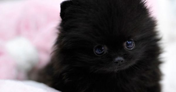 teacup pomeranian puppy Cutee animals Pinterest